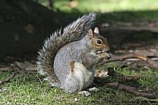 Grey_Squirrels