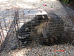 raccoon-removal2